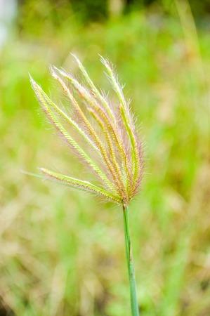 swollen: swollen finger grass in garden