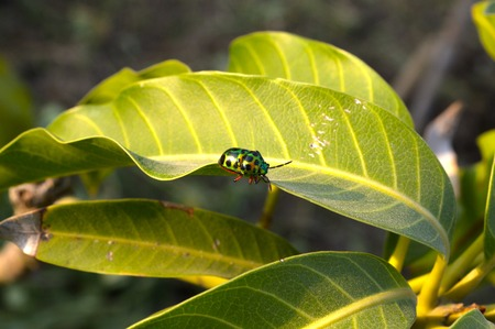 insect on mango leaves Zdjęcie Seryjne