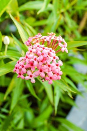 chinensis: pink Ixora chinensis flower