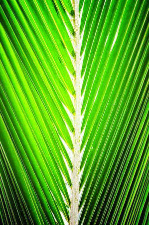 Green Coconut leaves for background photo