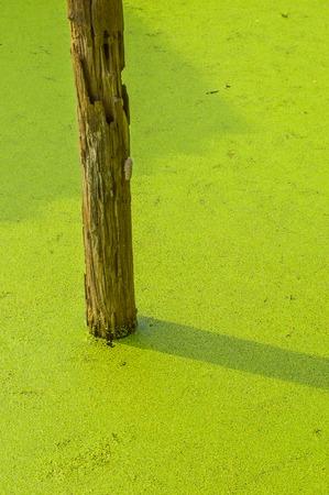 wood pole on green duckweed Stock Photo