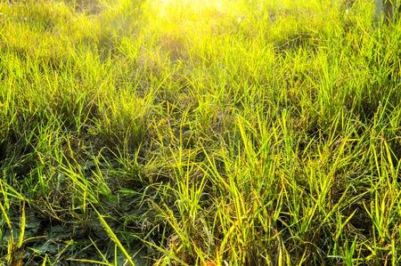 green grass in garden