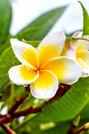 dew on plumeria flower
