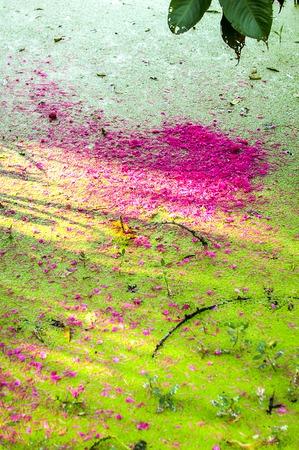 duckweed: Syzygium malaccense petal on duckweed
