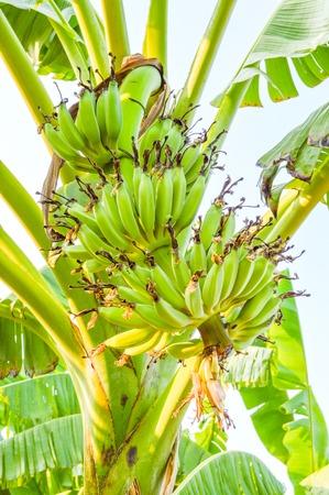 banana tree Stock Photo - 33929790
