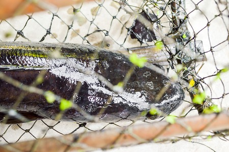 chevron snakehead: Common snakehead in nets trap