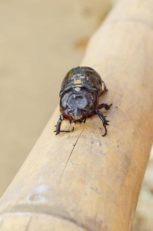 Beetle on bamboo wood