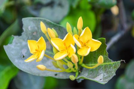 yellow ixora flowers Imagens
