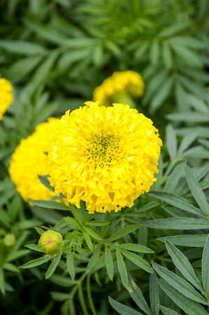 marigold flower in garden