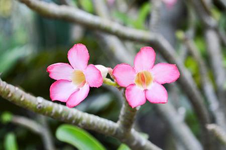 adenium: Adenium Obesum flower