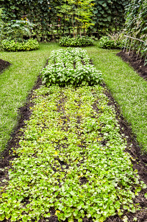 vegetable plot in garden