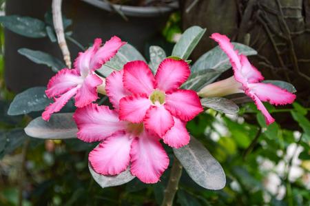 merah: Adenium Obesum flower