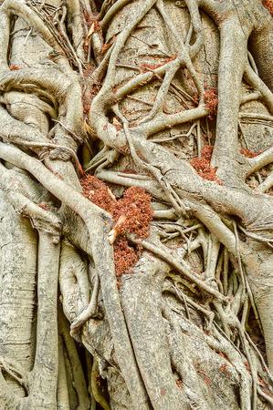 banyan: banyan roots in garden
