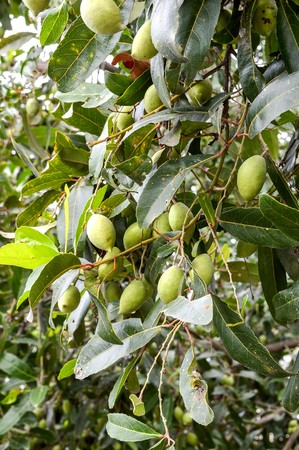 green olive on the tree in garden