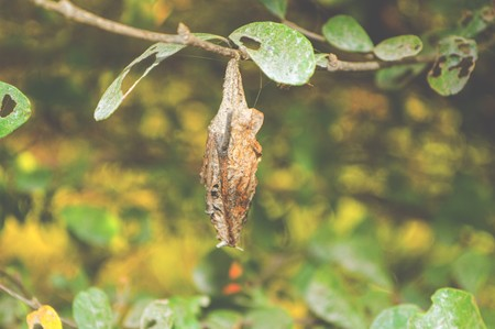 pupa: pupa on the tree Stock Photo