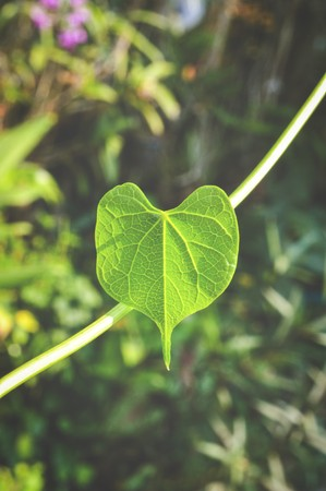 green leaves heart in garden