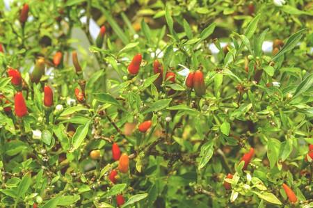 pepper tree in garden