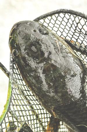 snakehead: striped snakehead fish Stock Photo