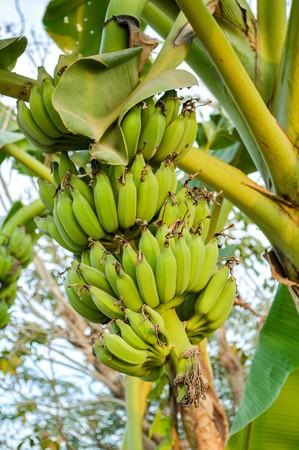 green banana tree in garden