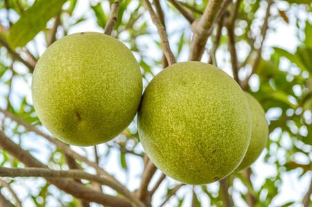 apocynaceae: cerbera odollam gaertn tree