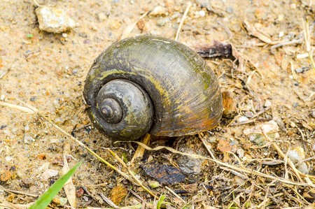 channeled: shell Golden applesnail on the ground