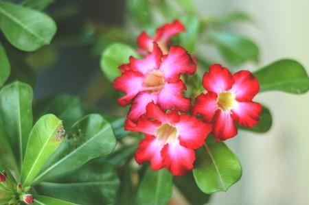 merah: pink Adenium Obesum flower in garden