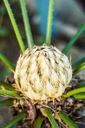 cycas: Cycas circinalis L. flower in garden