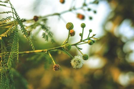 green acacia in garden