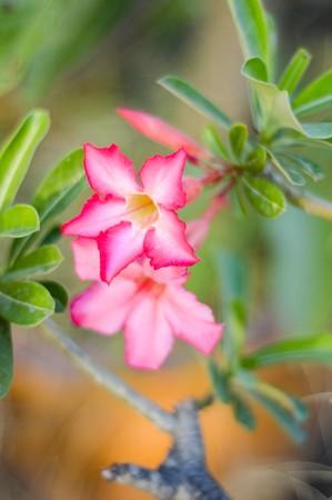pink Adenium Obesum flower in garden