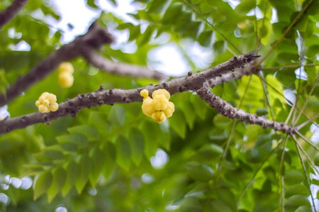 Star Gooseberry On Tree 版權商用圖片