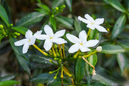 tree jasmine: white Gerdenia crape jasmine  flower tree