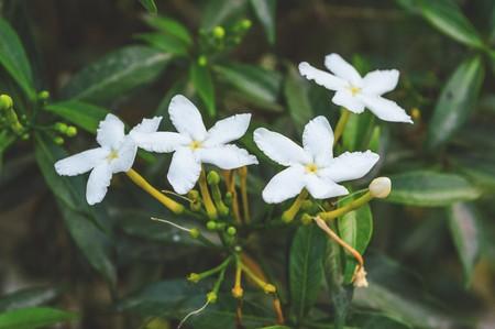 tree jasmine: white Gerdenia crape jasmine flower tree Stock Photo