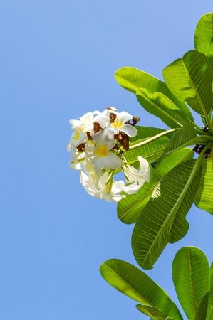 plumeria flower on blue sky