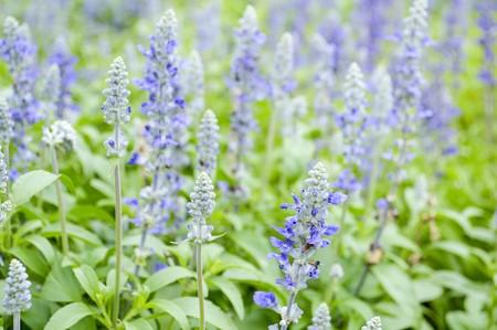 lavandula: Lavandula flower in garden