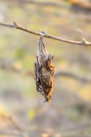 pupa: pupa on dry branch Stock Photo