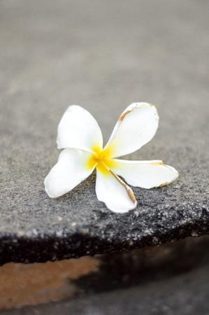 white plumeria flower on cement floor