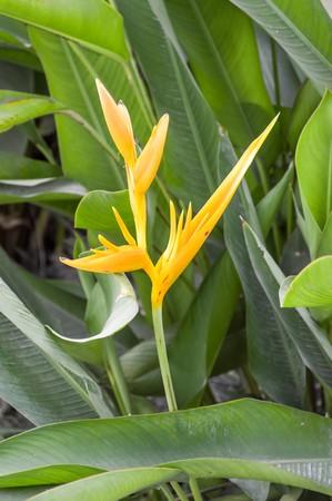 Heliconia flower in garden Stok Fotoğraf