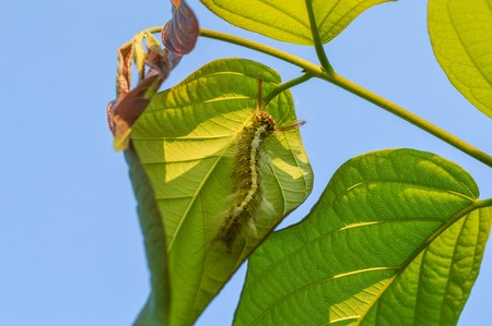 caterpillar worm: hairy caterpillar worm on green leaves