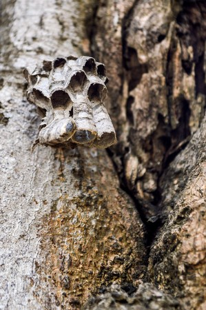 a hornet and its honeycomb that build on wood Reklamní fotografie