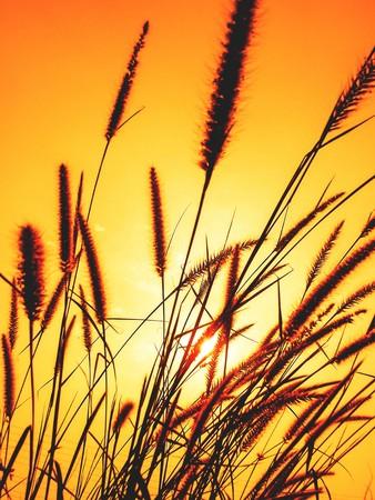 Prairie evening flower grass in garden photo