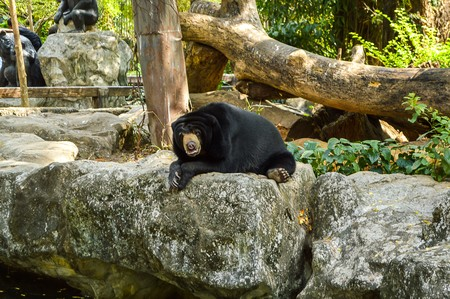 Asiatic black bear in Dosit zoo