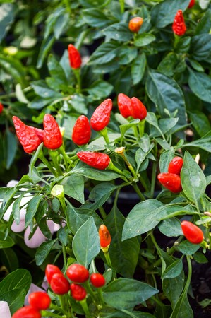 red chili spur pepper tree in garden photo