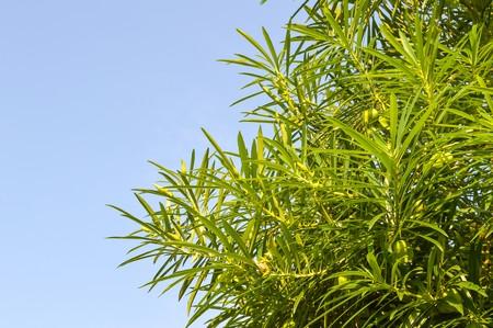 Yellow oleander leaves Imagens