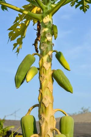 papaya tree in garden