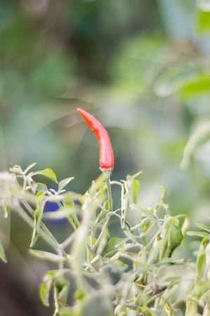 red chili pepper tree in garden photo