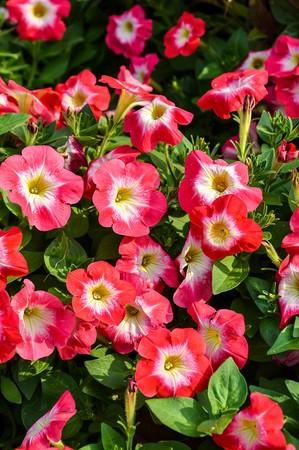 pink petunia flower in garden