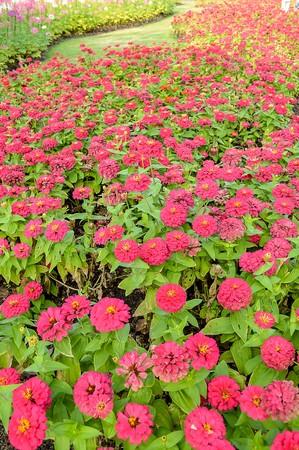 cav: pink Zinnia flower in garden (Zinnia violacea Cav.)