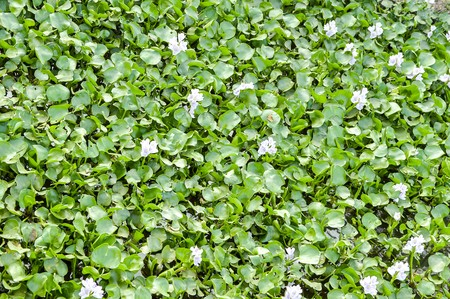 Water Hyacinth tree in river (Eichhornia crassipes) Banco de Imagens