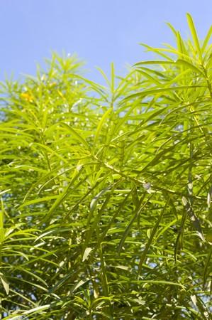 green oleander tree in garden