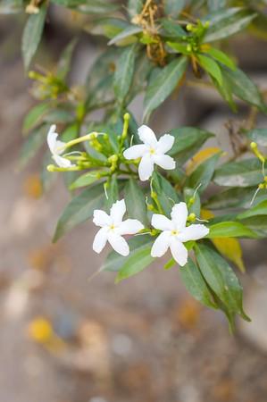 apocynaceae: Gerdenia crape jasmine flower tree